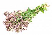 picture of origanum majorana  - Oregano or Marjoram Herb Blooming  - JPG