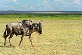 stock photo of wildebeest  - Wildebeest running on dusty plains  - JPG