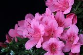 foto of bonsai  - Blooming bonsai azalea ona gray background - JPG