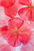 pic of geranium  - frozen flora  - JPG