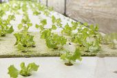 picture of hydroponics  - green oak cultivation hydroponics green vegetable in farm - JPG