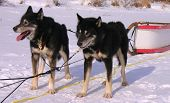 picture of sled-dog  - Two sled dogs taking a break on the snow covered lake in the woods on Ontario Canada north of Vermilion Bay - JPG