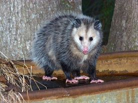 stock photo of possum  - young opossum on frozen trough  - JPG