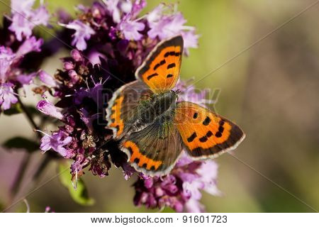 common copper