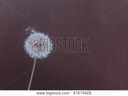 Fluffy Dandelion On A Brown Background