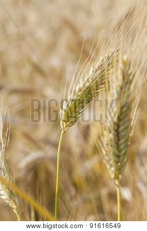 ripened cereals