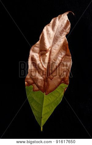 Half fresh half dried leaf
