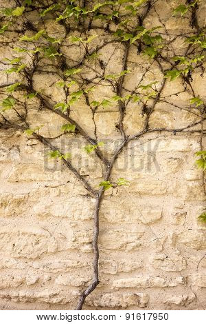 Vine Growing On Wall