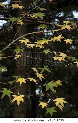 Liquidambar Oak