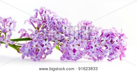 Purple spring lilac flowers blooming. Isolated on white banner, panorama. Syringa vulgaris