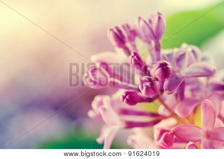 Purple spring lilac flowers blooming close-up. Syringa vulgaris