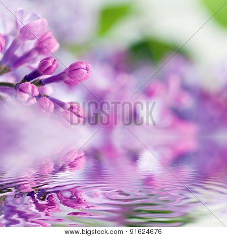 Purple spring lilac flowers blooming close-up. Water reflection. Syringa vulgaris