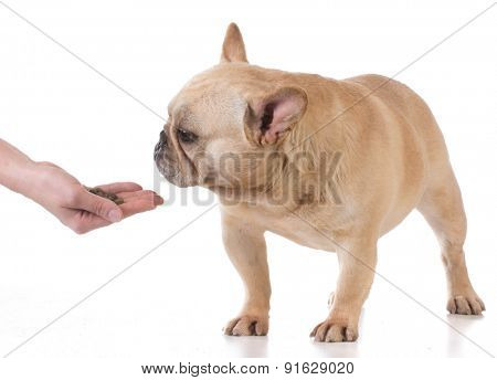 hand feeding the dog - french bulldog on white background