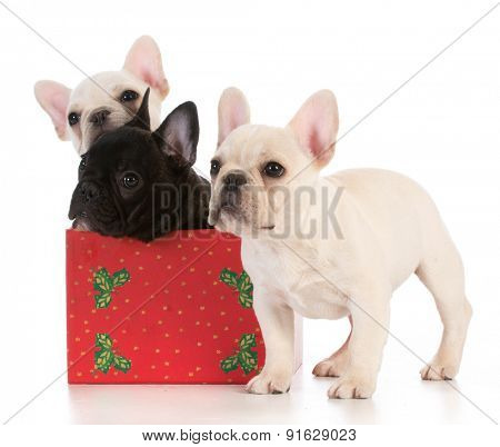 christmas puppies - three french bulldogs in seasonal setting on white background