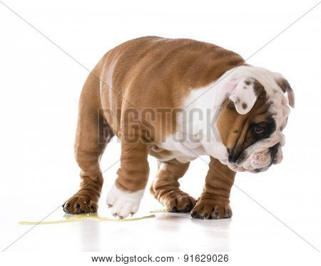 puppy peeing - bulldog puppy peeing isolated on white background