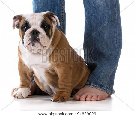 woman's legs with puppy sitting at her feet - bulldog