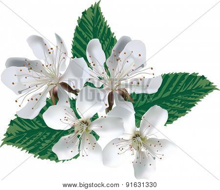 illustration with apple tree blossom isolated on white background