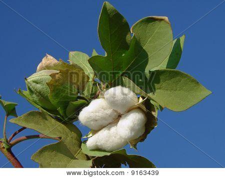 Cotton Boll