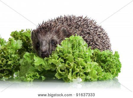 Hedgehog in lettuce leaves
