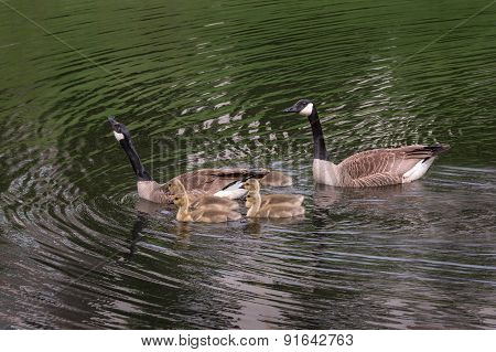 Canada Goose (branta Canadensis) Family Swims Left