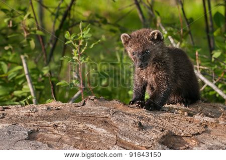 Young Fisher (martes Pennanti) Sits On Log Copy Space Left