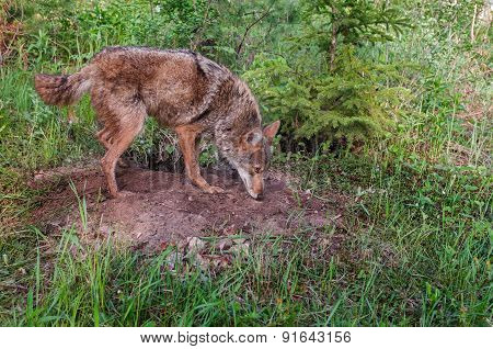 Adult Coyote (canis Latrans) Sniffs At Densite