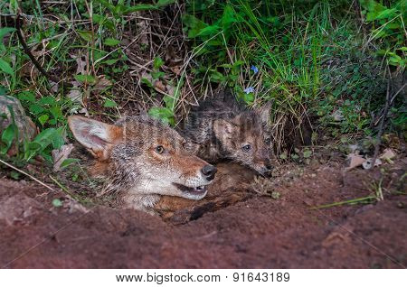 Coyote (canis Latrans) And Pup Stick Heads Out Of Den