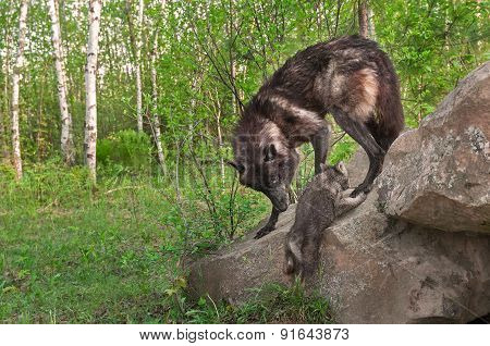 Black Wolf (canis Lupus) Watches Pup Climb Up Rock