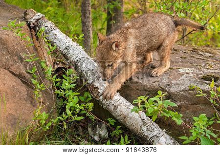 Grey Wolf Pup (canis Lupus) Climbs Off Rock Over Log