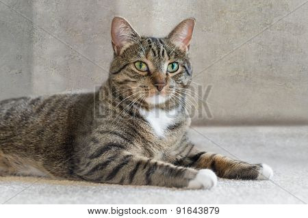 Domestic Cat Lies On Carpet Looking At Viewer