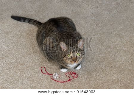 Domestic Cat Looks Up From Play