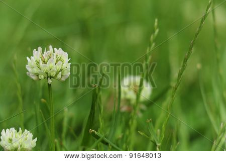 Clovers with flowers and grass