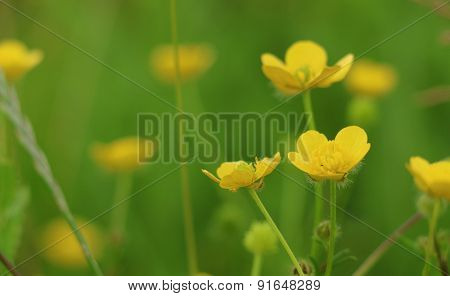 Marsh Marigold or Kingcup - Caltha palustris