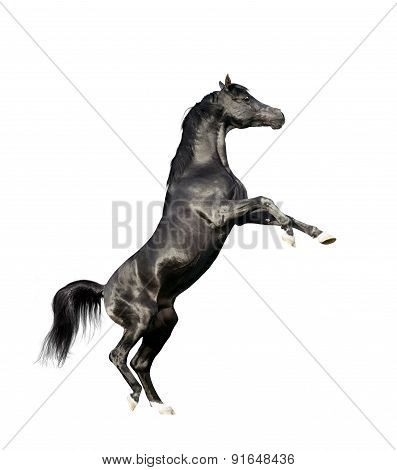Black Arabian Horse Rearing Isolated On White Background