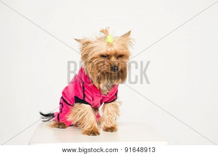 Little displeased dog in pink clothes