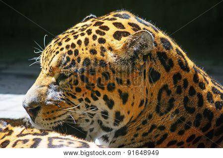 Side View Of A Jaguar Head
