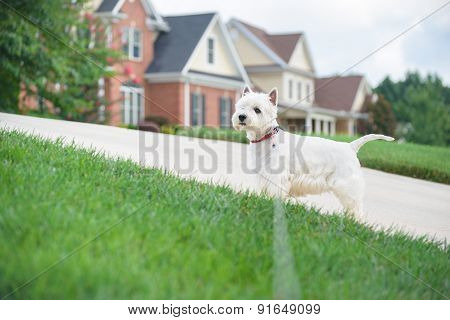 White Dog Waiting On A Driveway In Suburban Neighborhood