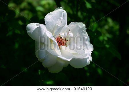 White Rose Briar Blooming