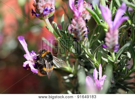 Bee collecting pollen from lavender