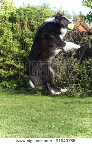 The Dog Is Jumping And Catching The Ball