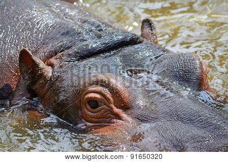 Young Hippopotamus In The Water