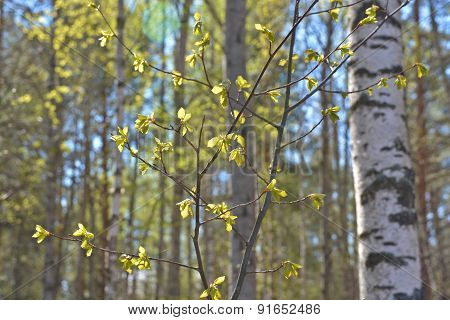 First Leaves On The Branches Of Birch.