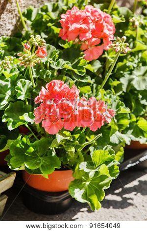 geranium flowers