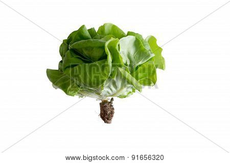 Locally Grown Organic Butter Crunch Lettuce