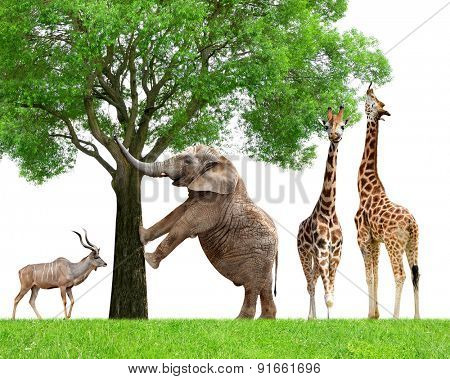 Giraffes, Elephant and Kudu
