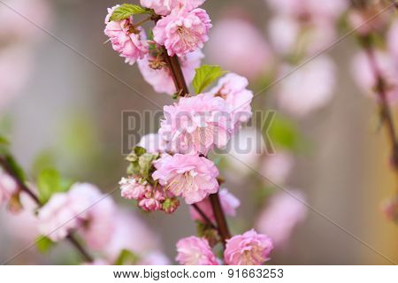 Beautiful fruit blossom in spring outdoors