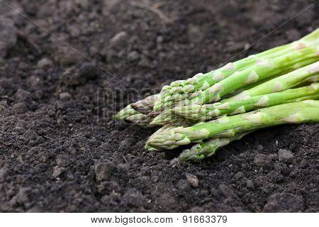 Fresh asparagus over black soil background