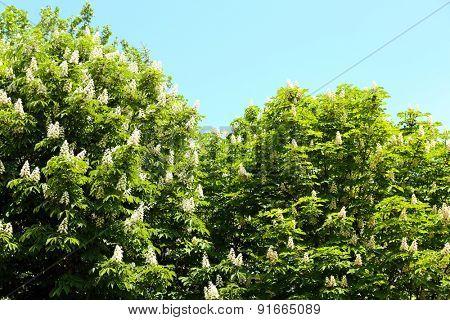 Flowering chestnut tree over blue sky background