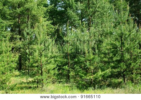 Green trees in forest grove