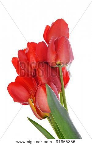Beautiful bouquet of red tulips isolated on white